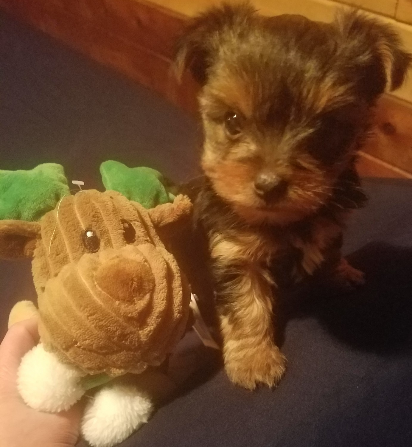 yorkie puppies for sale in mn yorkshire terrier puppies for sale albertville mn 262778 9955