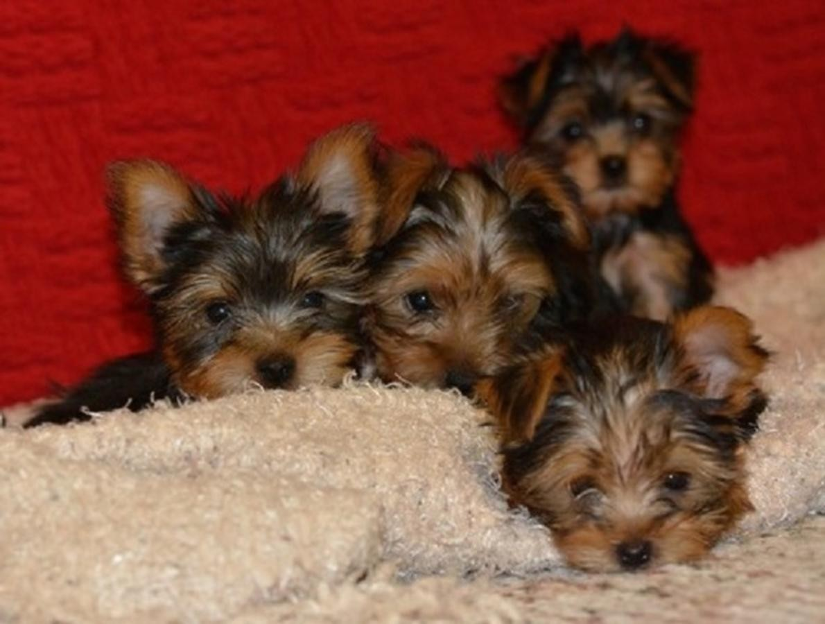 yorkie puppies for sale in philadelphia yorkshire terrier puppies for sale philadelphia pa 268477 3773