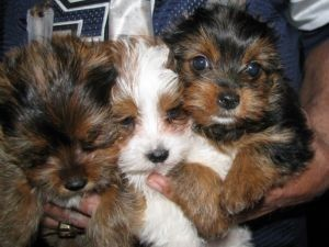 yorkie puppies for sale in philadelphia yorkshire terrier puppies for sale northeast 5073