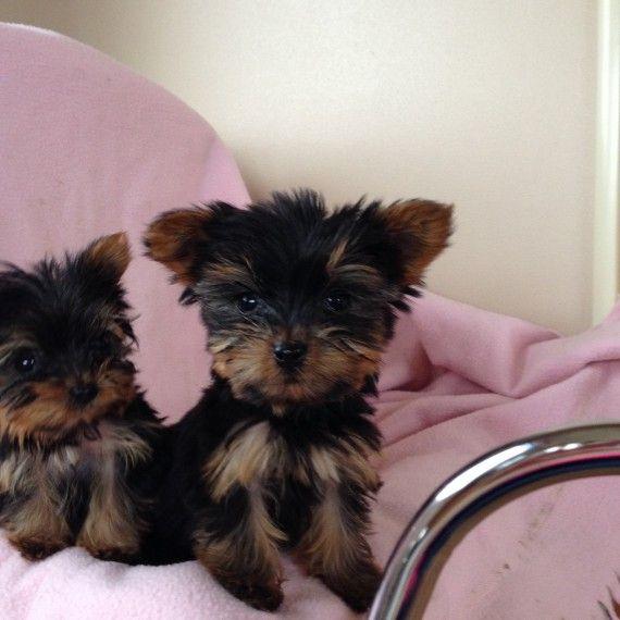 Yorkshire Terrier Puppies For Sale Detroit Mi 270940