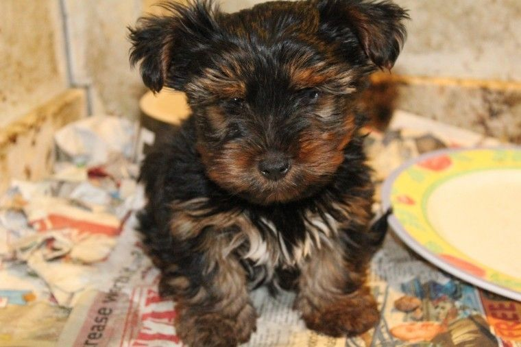 yorkie puppies for sale in philadelphia yorkshire terrier puppies for sale philadelphia pa 272351 6781