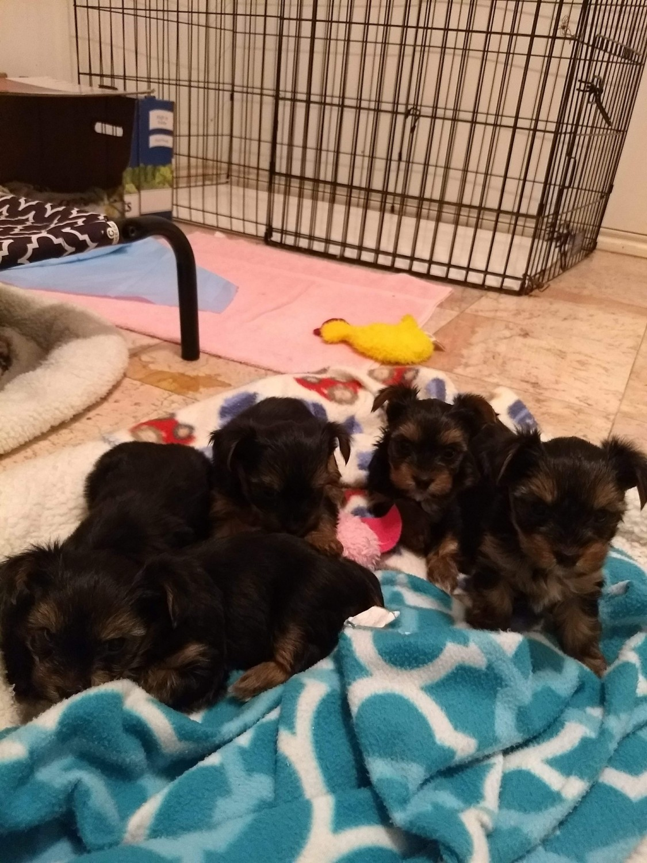 Yorkshire Terrier Puppies For Sale San Antonio Tx 273207