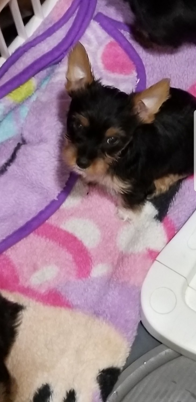 Yorkie Puppies For Sale In Virginia Beach Va