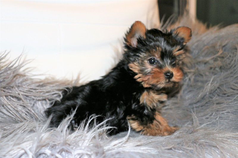 yorkshire terrier for sale mn yorkshire terrier puppies for sale minneapolis mn 274809 1081