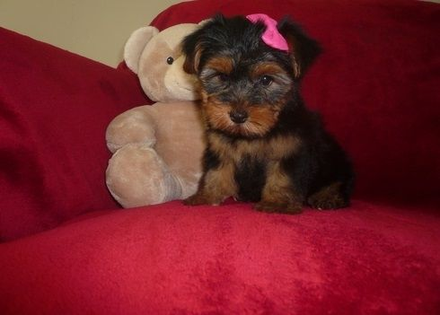 yorkie puppies for sale sacramento ca yorkshire terrier puppies for sale sacramento ca 283422 8202