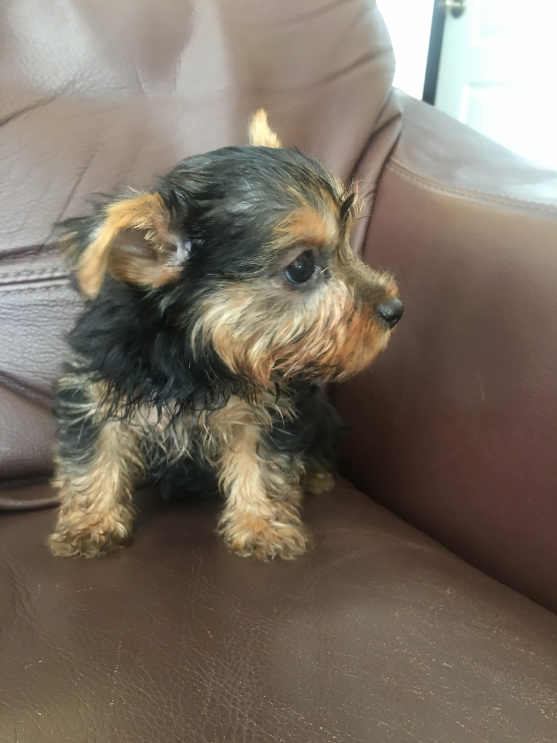 Yorkshire Terrier Puppies For Sale Lakeland Fl 283274
