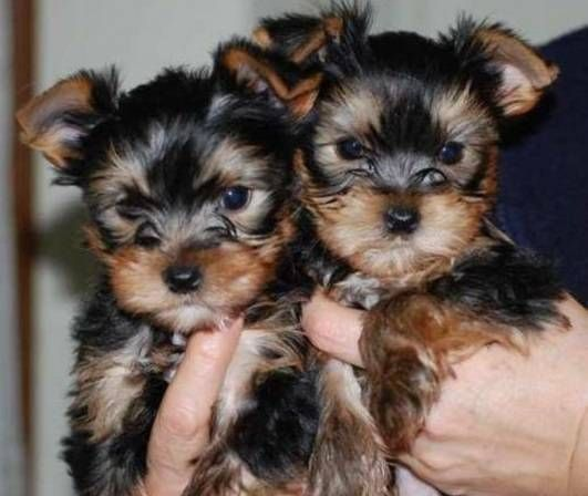Yorkshire Terrier Puppies For Sale Downtown Ga 284389