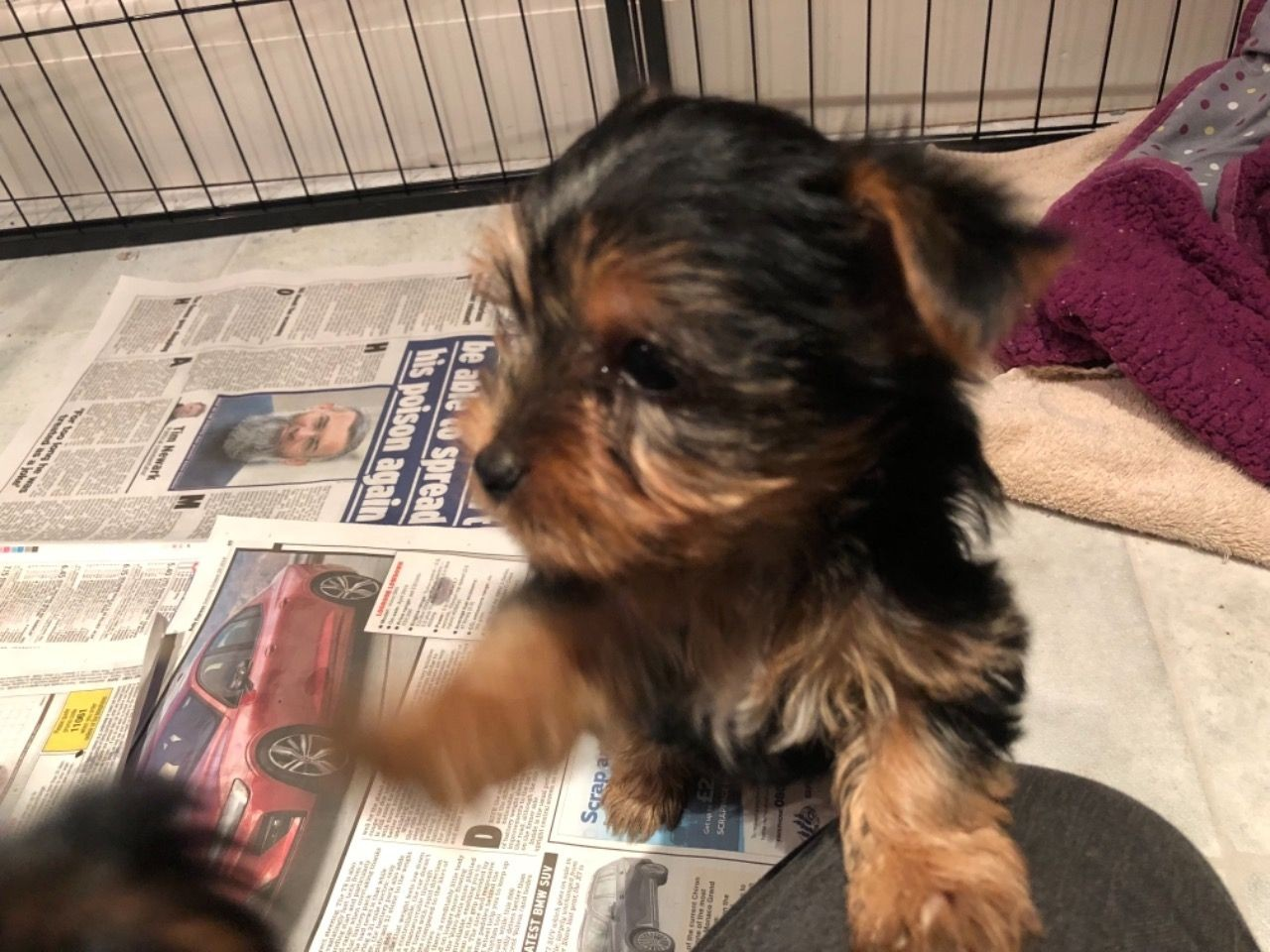 Yorkshire Terrier Puppies For Sale Los Angeles Ca 285164