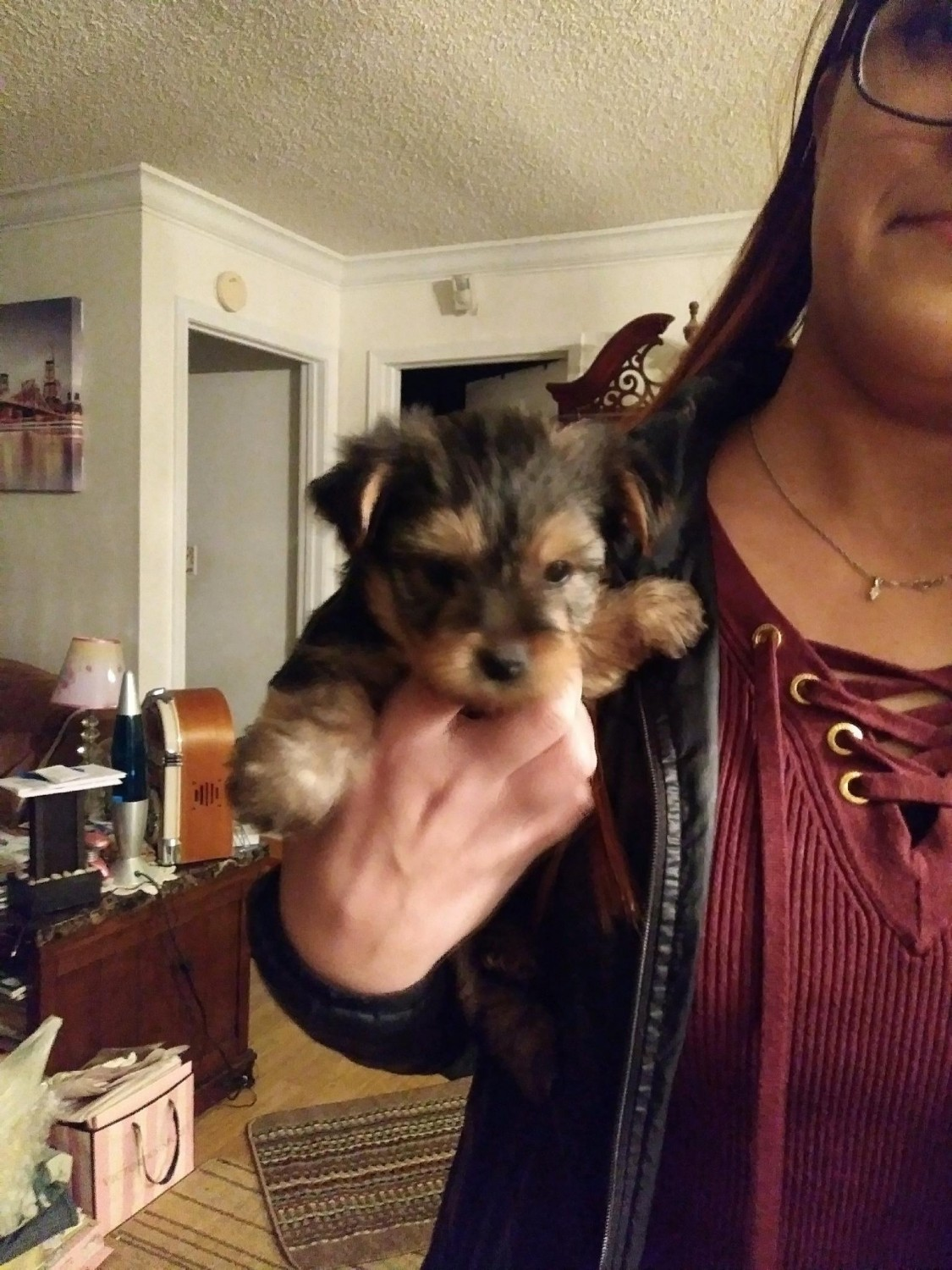 Yorkshire Terrier Puppies For Sale Flat Rock Nc 285617