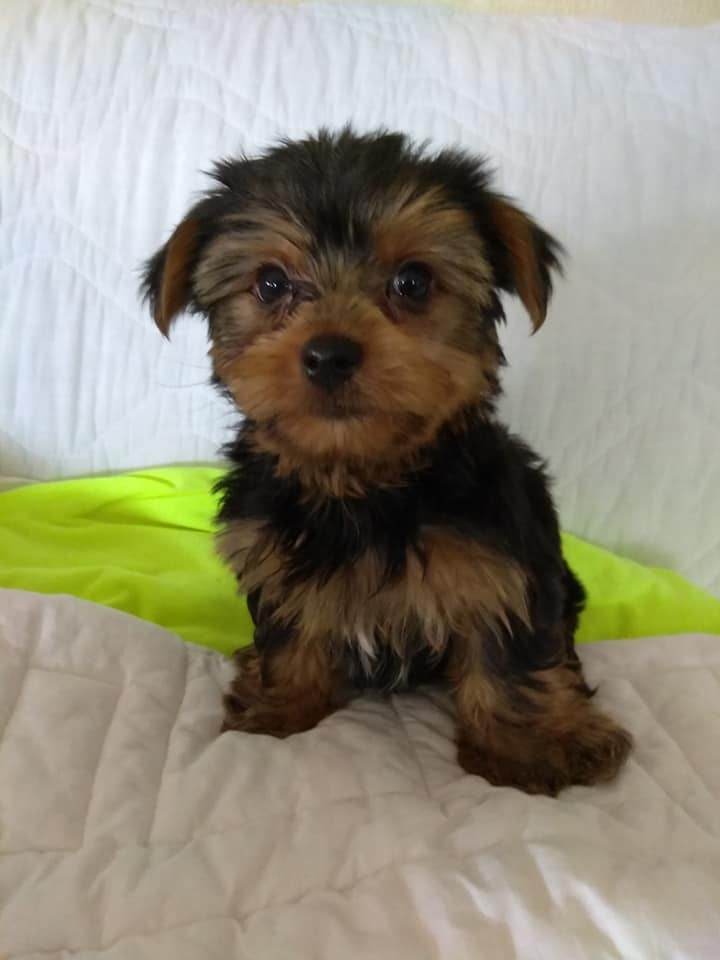 Yorkshire Terrier Puppies For Sale Richmond Va 286445