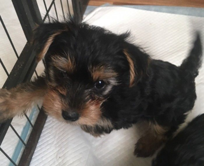 Yorkshire Terrier Puppies For Sale El Paso Tx 287321