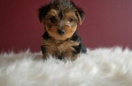 Yorkshire Terrier Puppies For Sale Richmond Va 287494