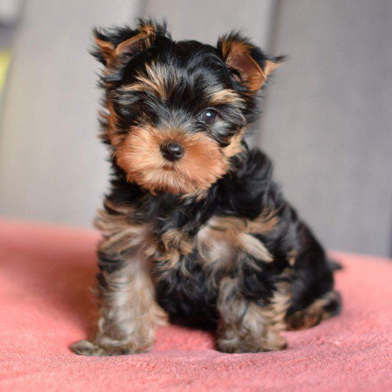 yorkie oklahoma yorkshire terrier puppies for sale oklahoma city ok 287803 6513
