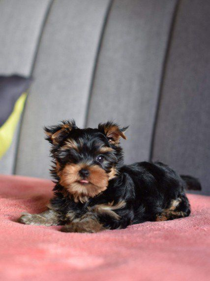 yorkie oklahoma yorkshire terrier puppies for sale oklahoma city ok 287803 219