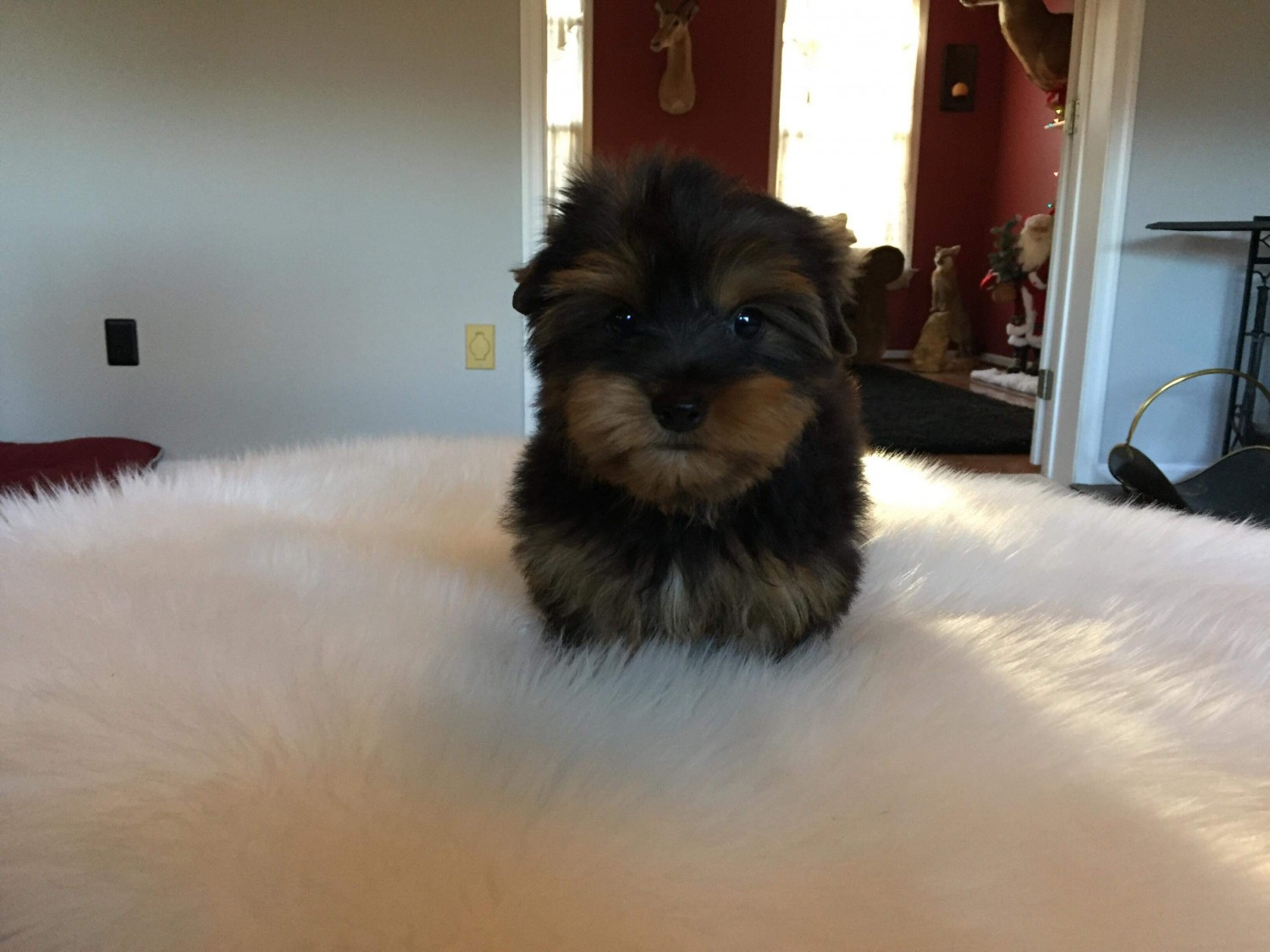 yorkie puppies for sale in philadelphia yorkshire terrier puppies for sale philadelphia pa 288289 9240