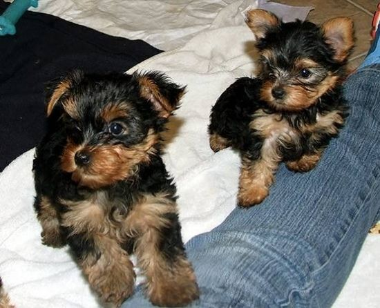 Yorkshire Terrier Puppies For Sale | Buffalo, NY #288868