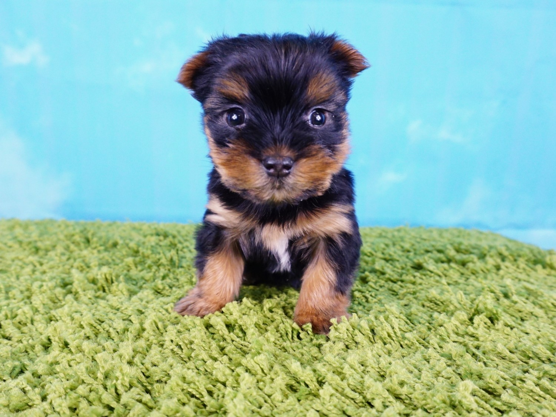 Yorkshire Terrier Puppies For Sale Las Vegas Nv 289018