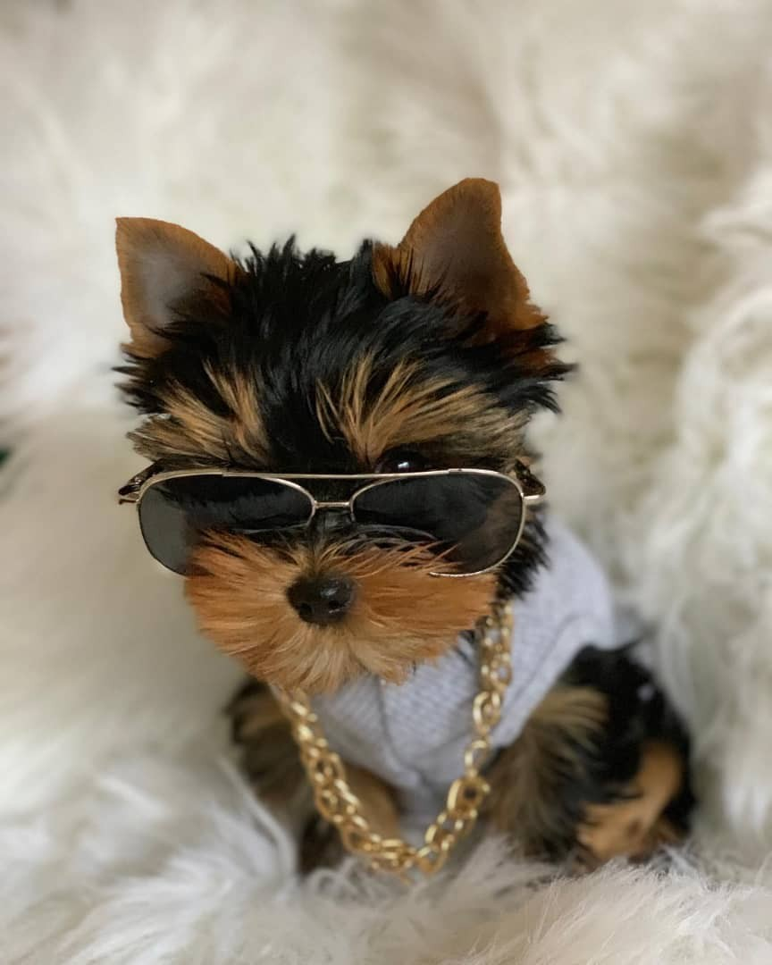 Yorkshire Terrier Puppies For Sale | 67th Street, Geneva ...