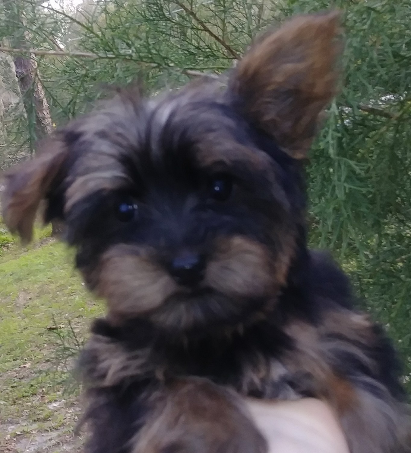 Yorkie puppies for sale in central nj