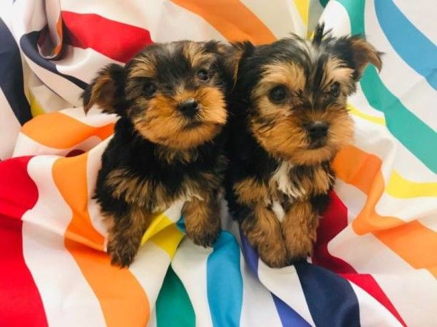 Yorkshire Terrier Puppies For Sale | New York, NY #291357