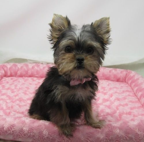 teacup yorkie puppies for sale in ohio yorkshire terrier puppies for sale cleveland oh 291571 7598