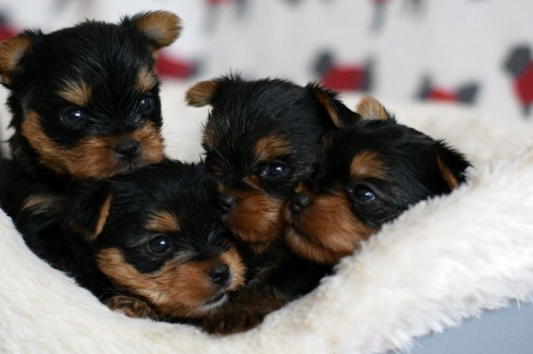 yorkie breeders in colorado yorkshire terrier puppies for sale denver co 292094 5175