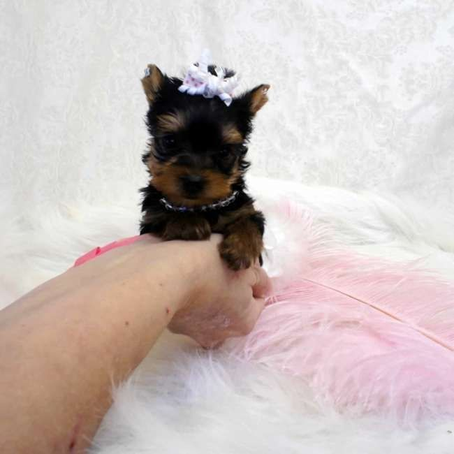 Puppies For Sale In Albuquerque >> Yorkshire Terrier Puppies For Sale | South Broadway, NM #295789