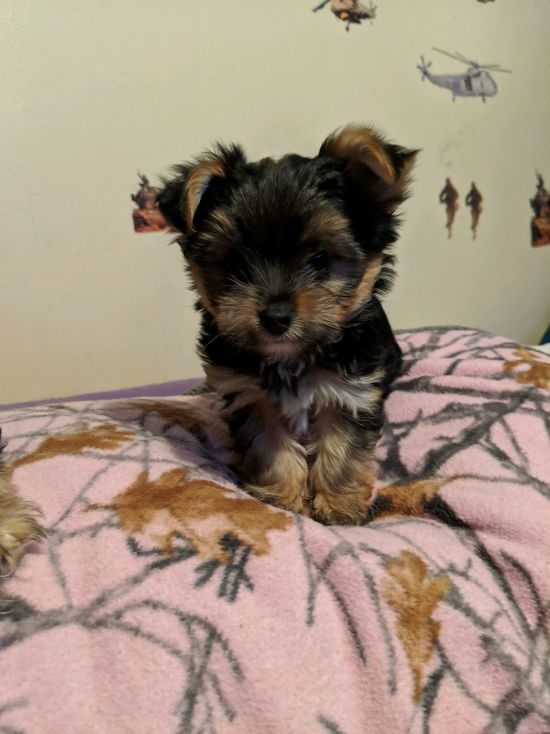 yorkie puppies for sale in michigan yorkshire terrier puppies for sale ypsilanti mi 295961 2995