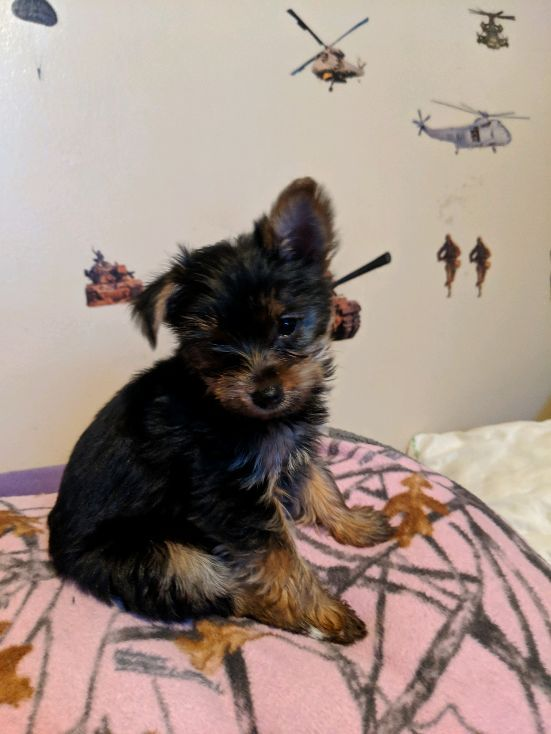 yorkie puppies for sale in michigan yorkshire terrier puppies for sale ypsilanti mi 295961 7329