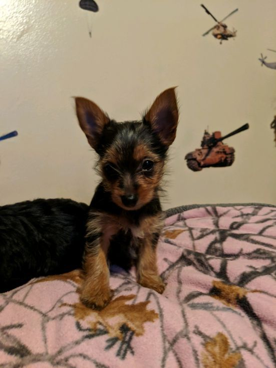 yorkie puppies for sale in michigan yorkshire terrier puppies for sale ypsilanti mi 295961 7498