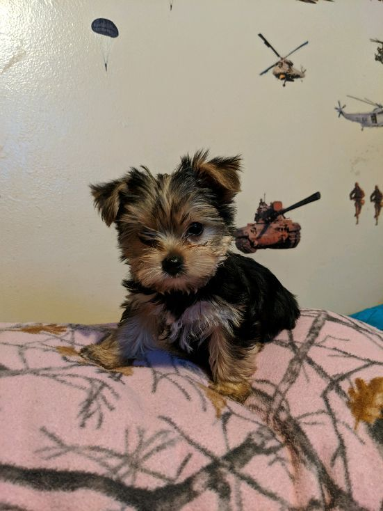 yorkie puppies for sale in michigan yorkshire terrier puppies for sale ypsilanti mi 295961 3083