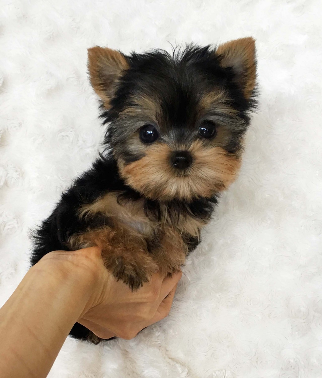 Yorkshire Terrier Puppies For San Jose Ca 298091