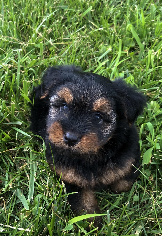Yorkshire Terrier Puppies For Sale   Decatur, IL #301348
