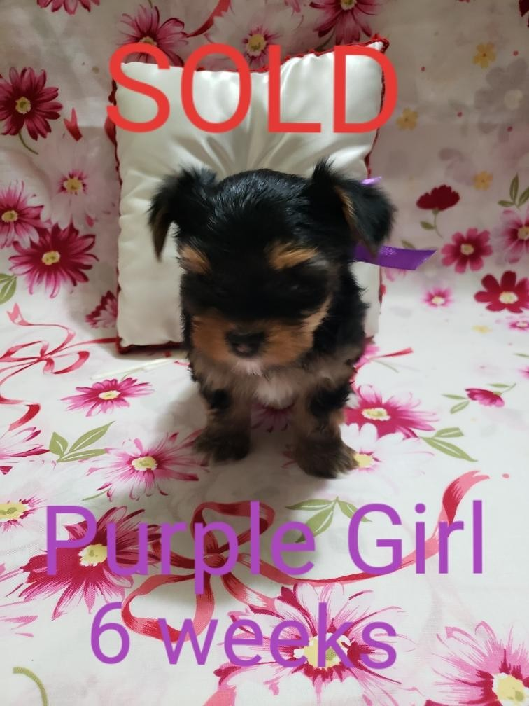 yorkie puppies for sale sacramento ca yorkshire terrier puppies for sale sacramento ca 303551 2967