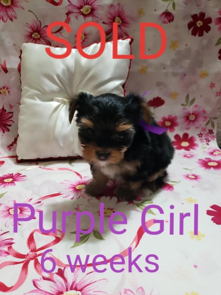 yorkie puppies for sale sacramento ca yorkshire terrier puppies for sale sacramento ca 303551 467