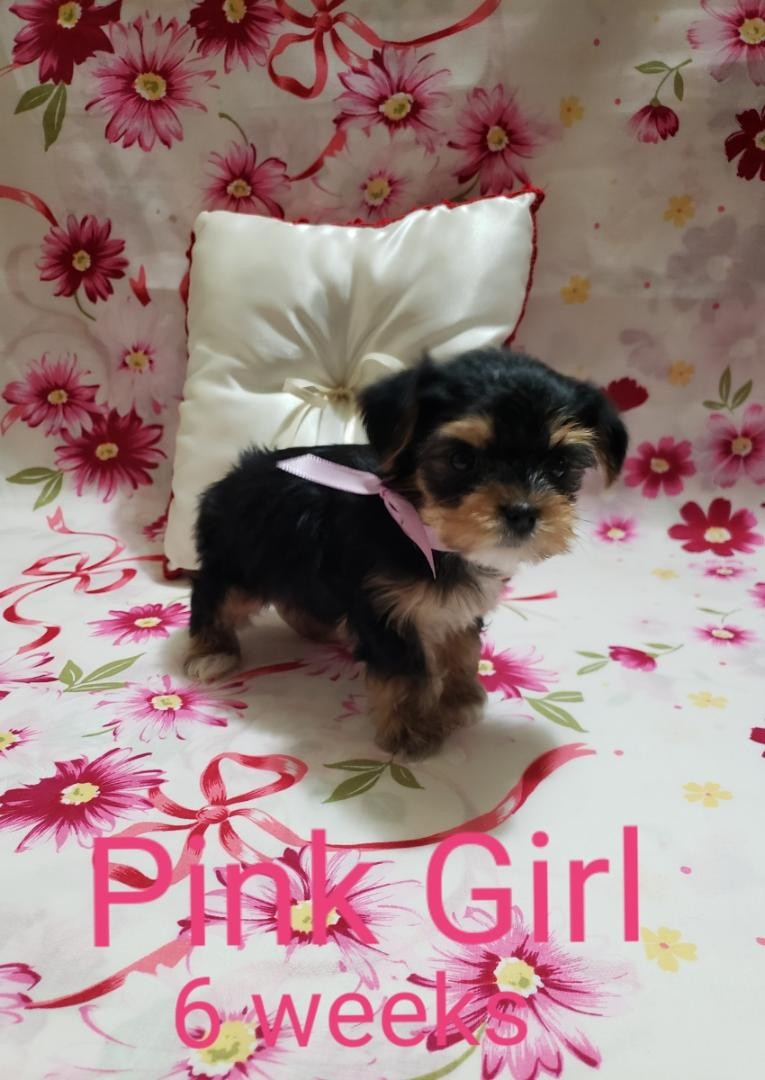 yorkie puppies for sale sacramento ca yorkshire terrier puppies for sale sacramento ca 303551 6364