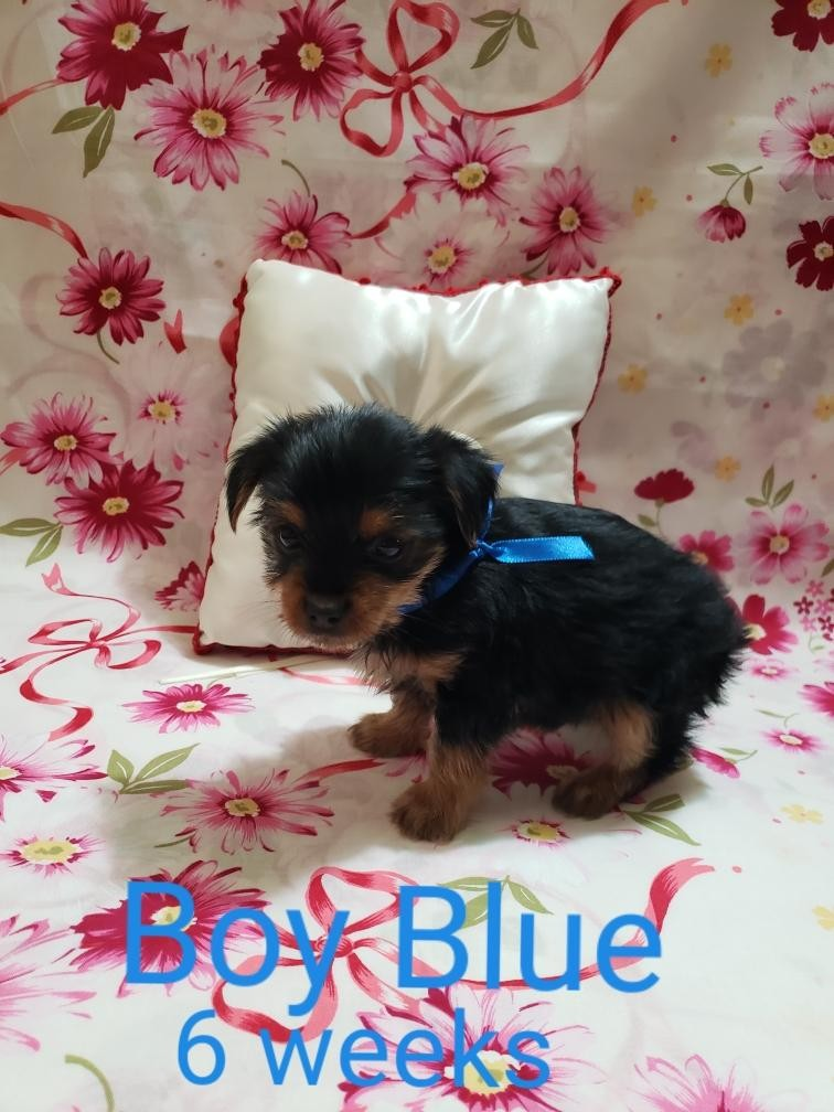 yorkie puppies for sale sacramento ca yorkshire terrier puppies for sale sacramento ca 303551 6321