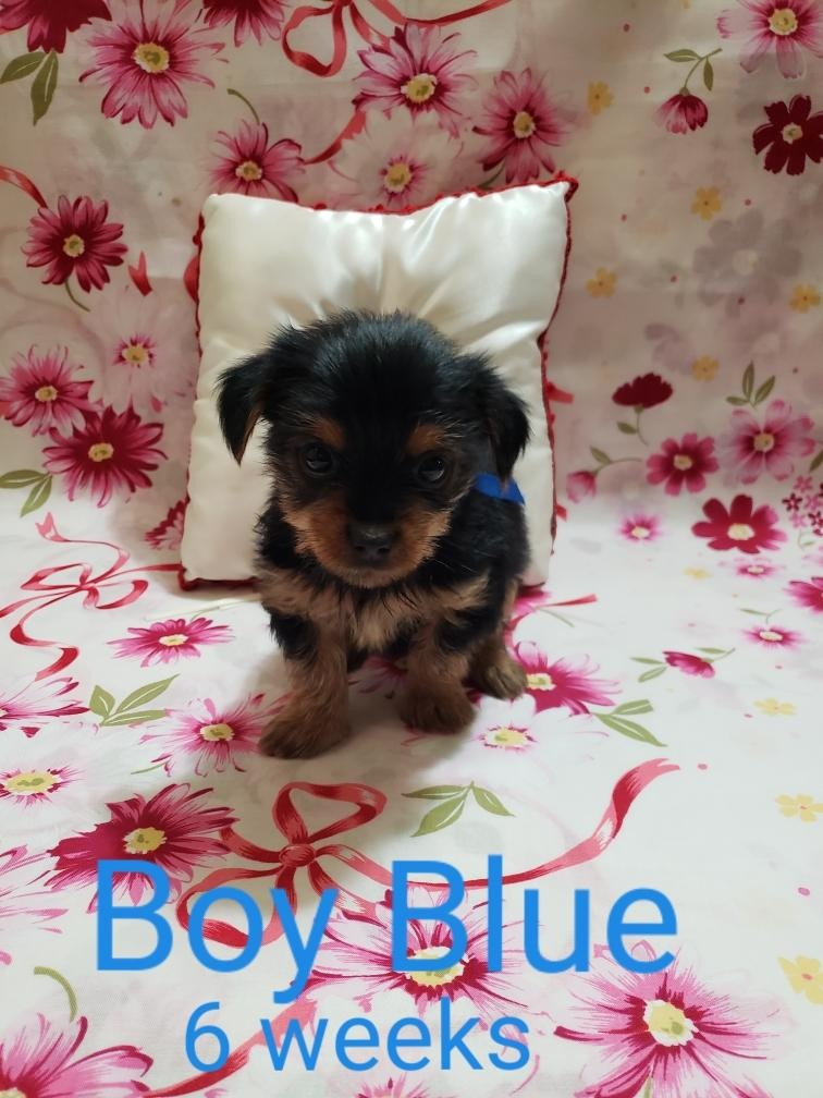 yorkie puppies for sale sacramento ca yorkshire terrier puppies for sale sacramento ca 303551 8056