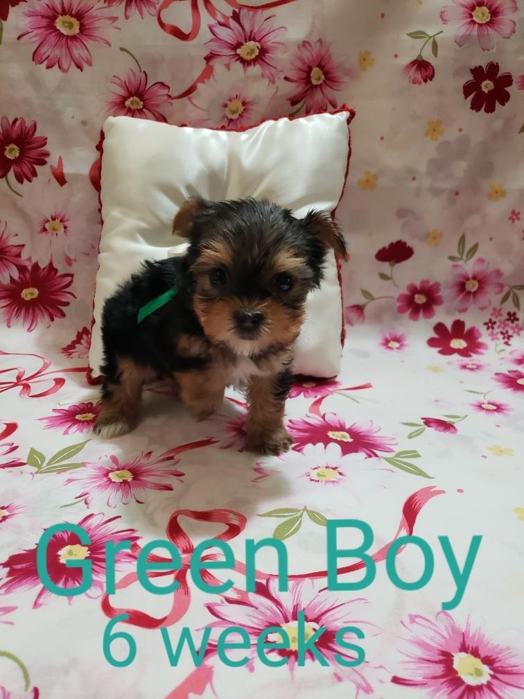 yorkie puppies for sale sacramento ca yorkshire terrier puppies for sale sacramento ca 303551 4968