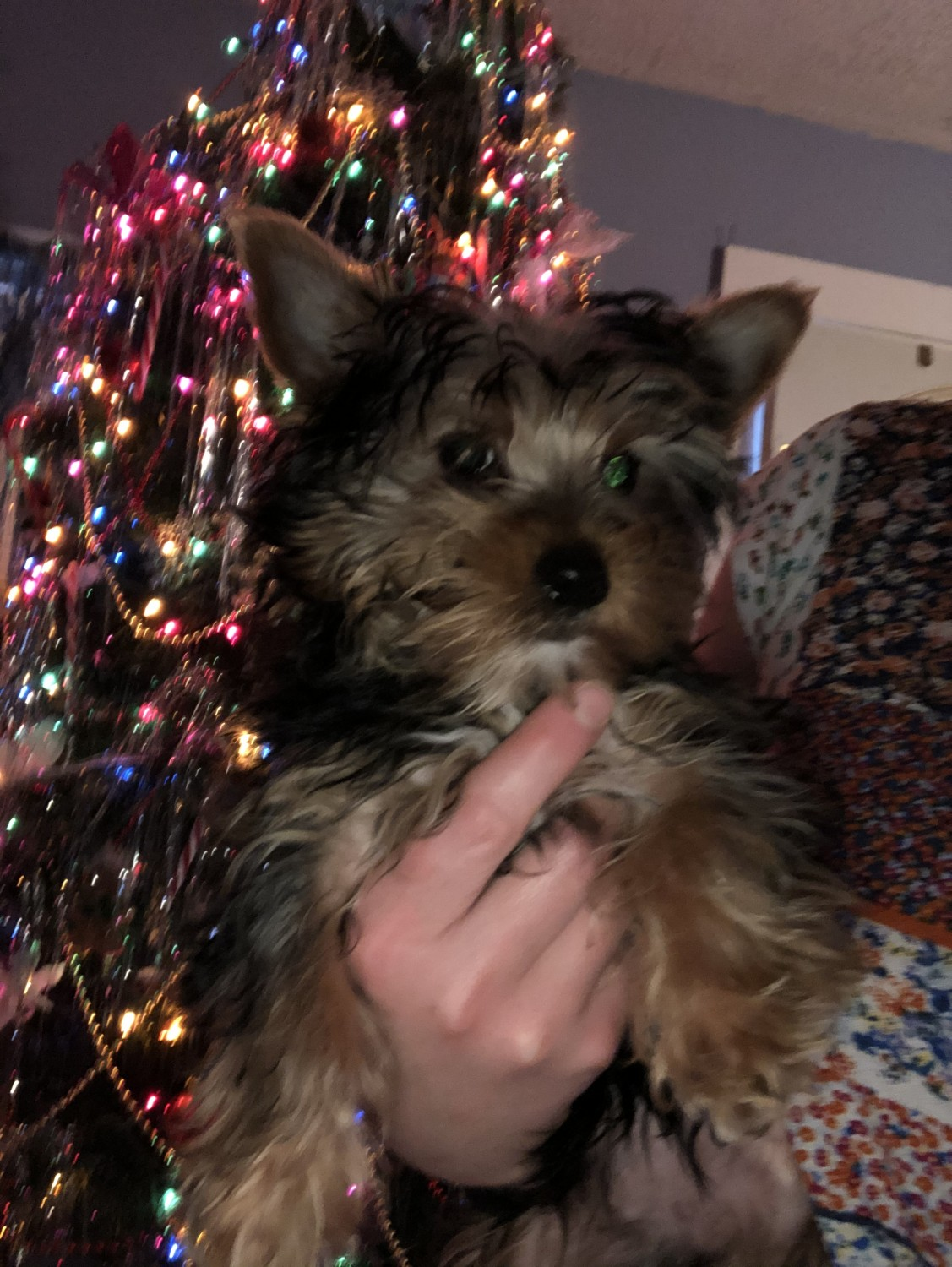 Yorkshire Terrier Puppies For Sale Wilkes Barre Pa 317767