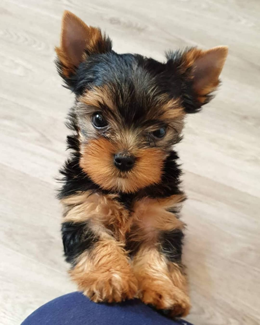 Yorkshire Terrier Puppies For Sale Michigan City In 333966