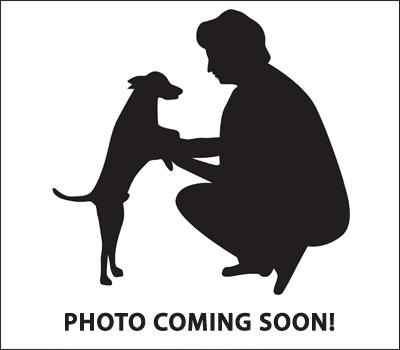 Pomeranian Puppies for sale in Detroit, MI, USA. price: NA