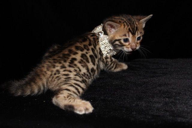 Exotic Shorthair Cats Sale | Surprise Farms, AZ #4894