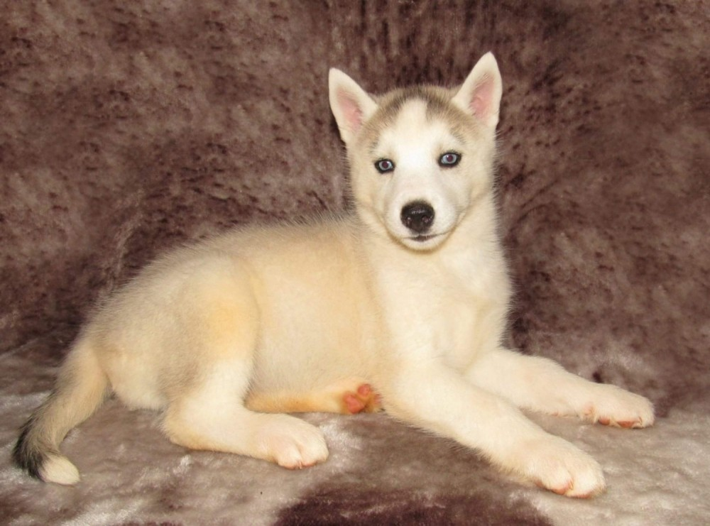 Siberian Husky Puppies Sale   Freeland, MI #604   Hoobly US