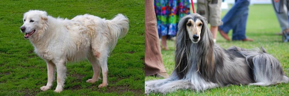 Afghan Hound vs Abruzzenhund