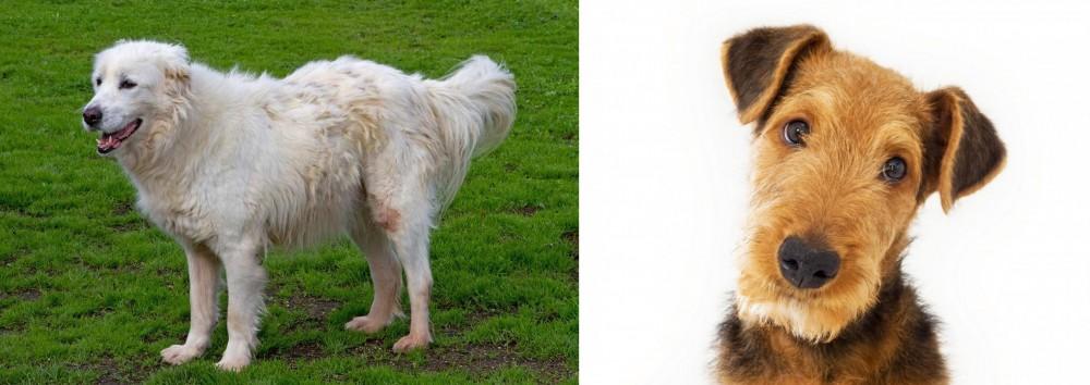 Airedale Terrier vs Abruzzenhund