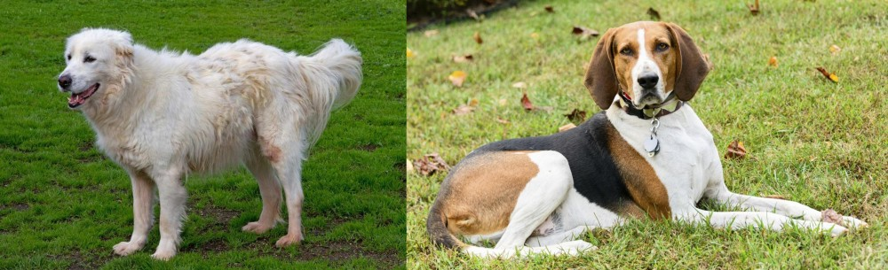 American English Coonhound vs Abruzzenhund