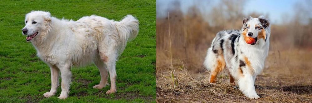 Australian Shepherd vs Abruzzenhund
