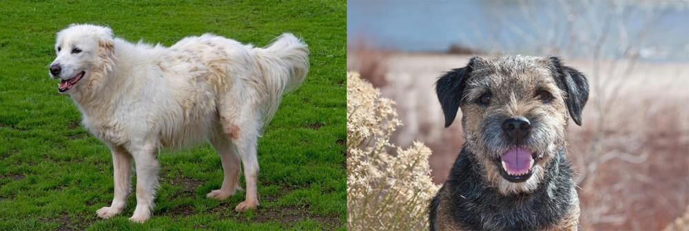 Border Terrier vs Abruzzenhund