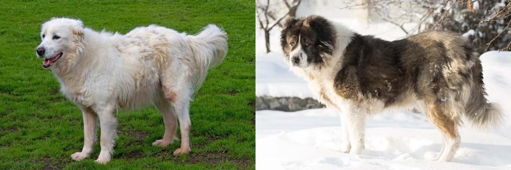 Caucasian Shepherd vs Abruzzenhund